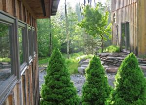 Albeta Spruce