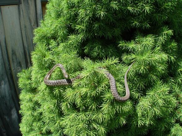 Snake in Alberta Spruce